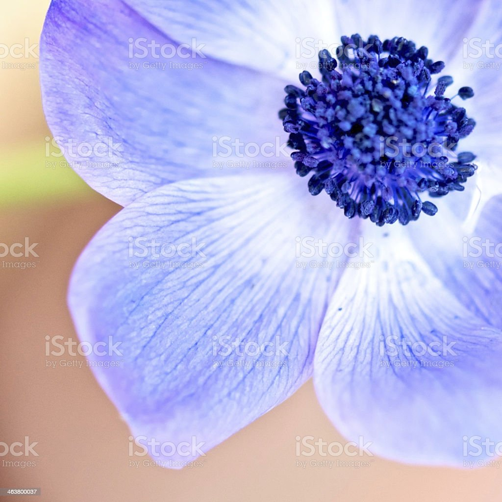 Anemone close up royalty-free stock photo