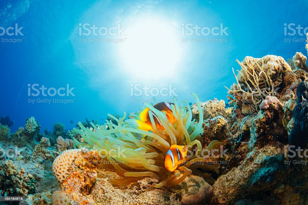 Anemone clownfish  Underwater  Sea life    Scuba Diver Point of View stock photo