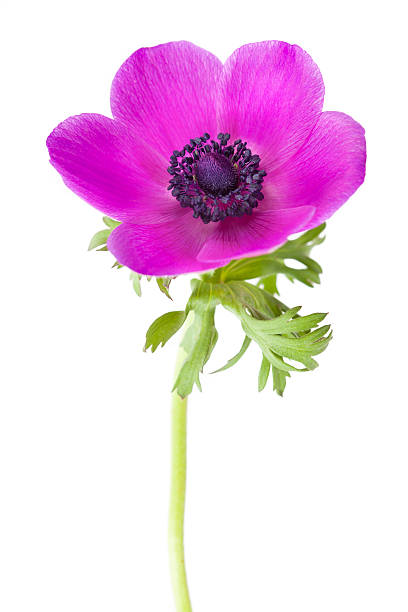 Royalty free anemone flower pictures images and stock photos istock anemone coronaria flower stock photo mightylinksfo