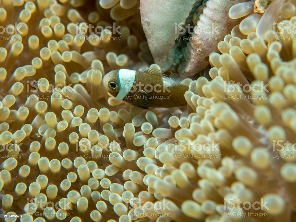 Anemonenfische in unterwasser-, Philippinen Lizenzfreies stock-foto