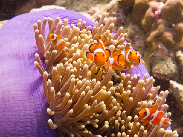 Anemone fish (clownfish) in an anemone stock photo