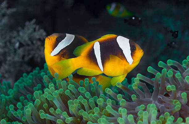 Anemone Fish Pair stock photo