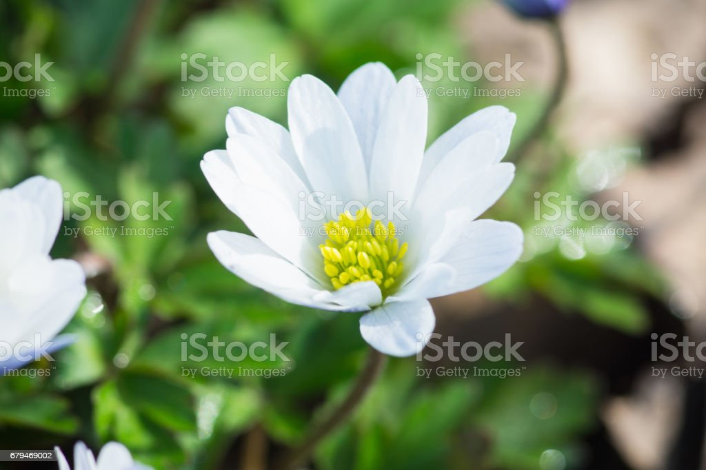 Anemone flower in the garden royalty-free stock photo