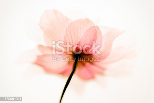 Anemone flowers abstract art