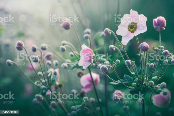 Anemone flowers in bloom picture id845538942?b=1&k=6&m=845538942&s=612x612&h=1emxnem12qmnwx i8lqlqiyzakxcm3ms4h7sv4w3yxs=