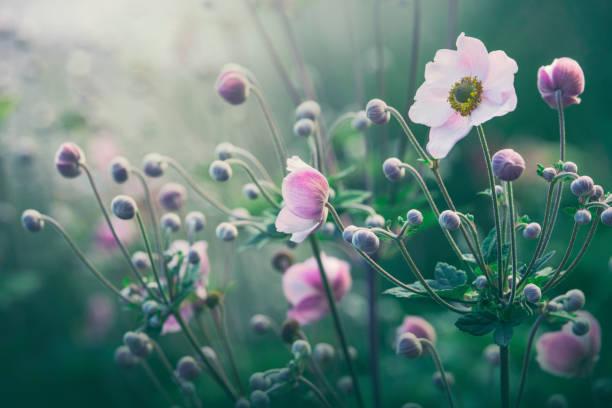 Anemone flowers in bloom picture id845538942?b=1&k=6&m=845538942&s=612x612&w=0&h=7wei1gps9icdq1pysca2s crqvs1aklelalr07zlm1w=