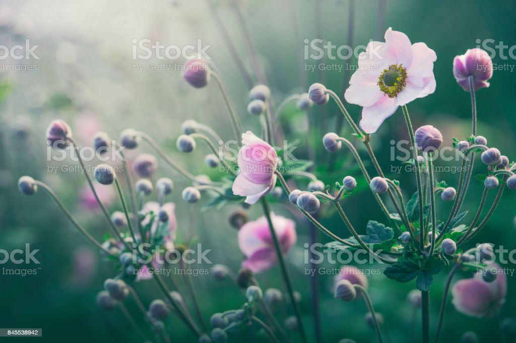 Anemone flowers in bloom stock photo