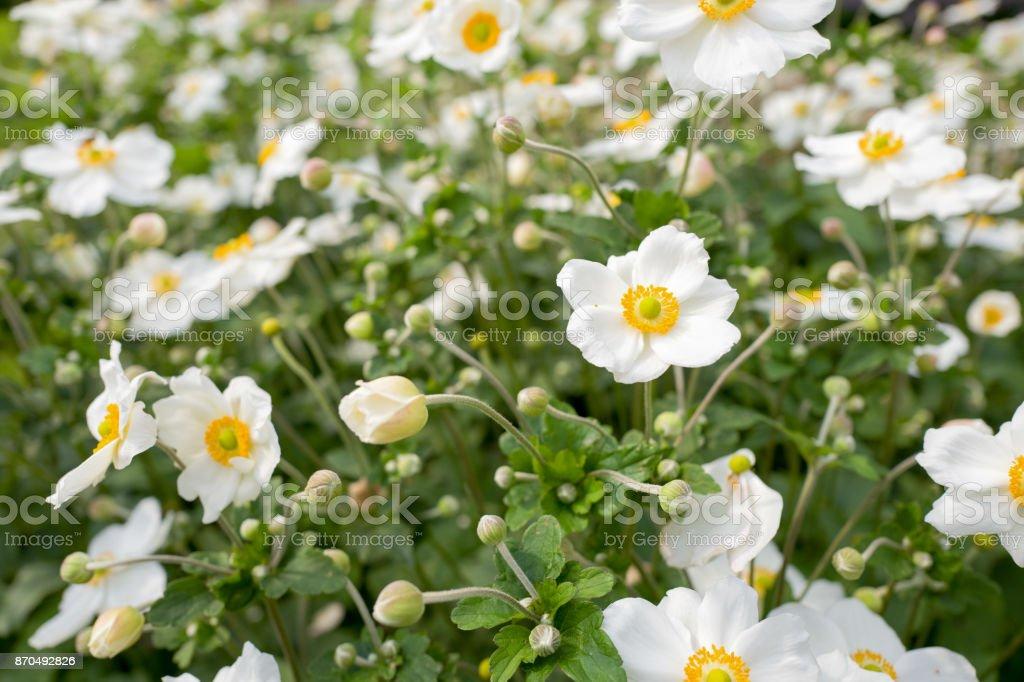 Anemone 花 - アネモネのストックフォトや画像を多数ご用意 - iStock