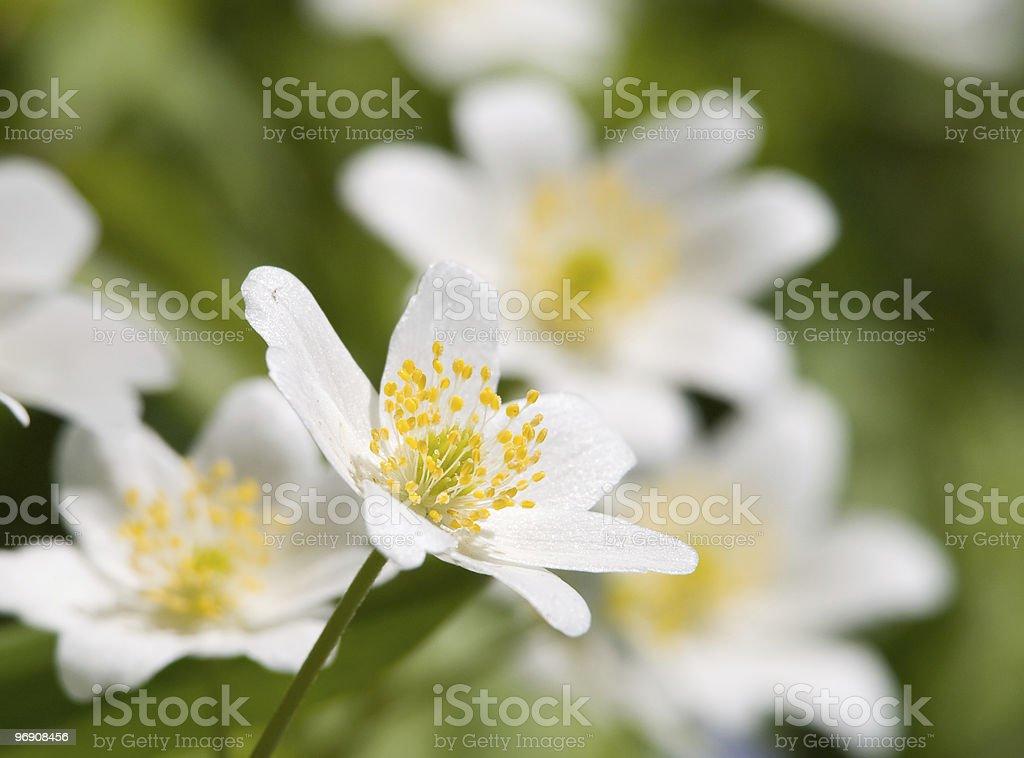Anemone glabrata royalty-free stock photo
