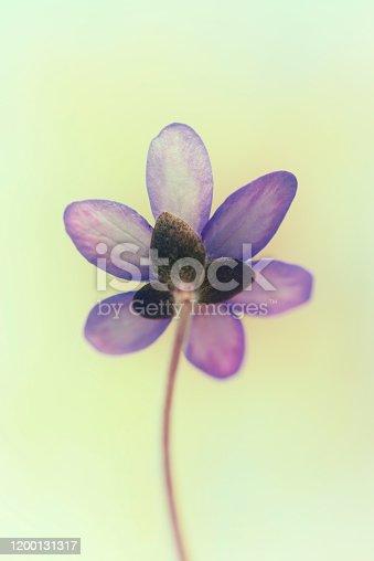 Anemone hepatica flower liverwort  green pastel toned