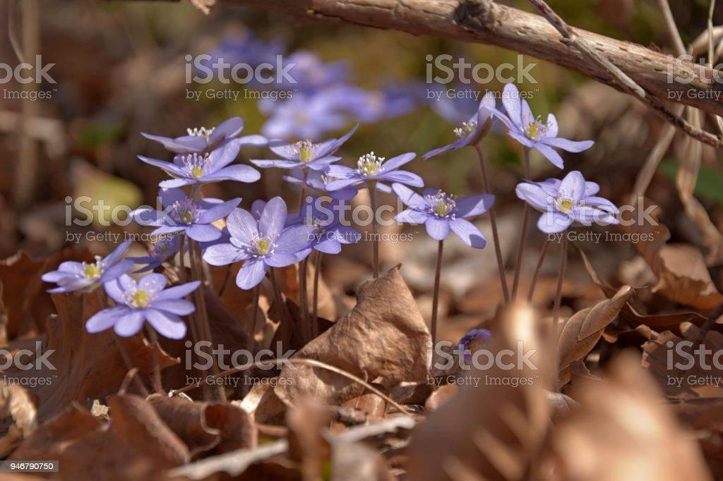 Anemone hepatica. Hepatica nobilis blooms in spring, beech leaves. stock photo