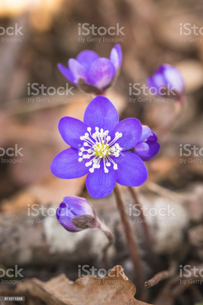 Anemone hepatica or common hepatica liverwort stock photo