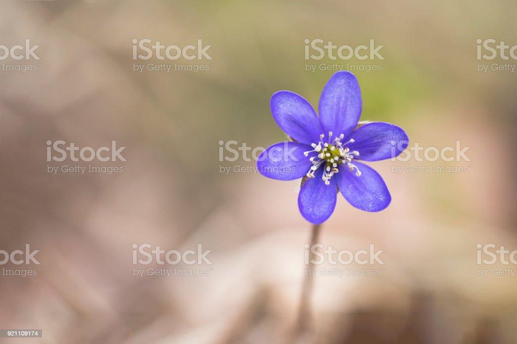 Anemone hepatica or common hepatica liverwort stock photo