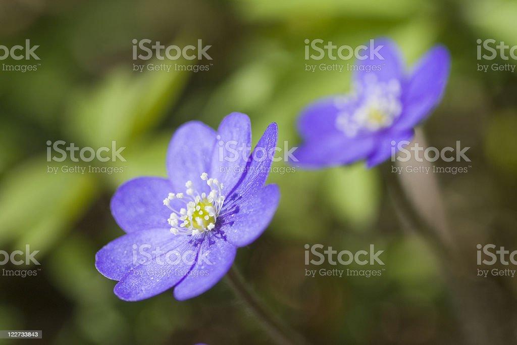 Anemone hepatica royalty-free stock photo