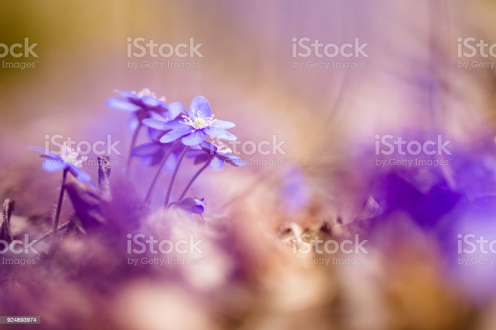Anemone hepatica ( liverwort ) stock photo