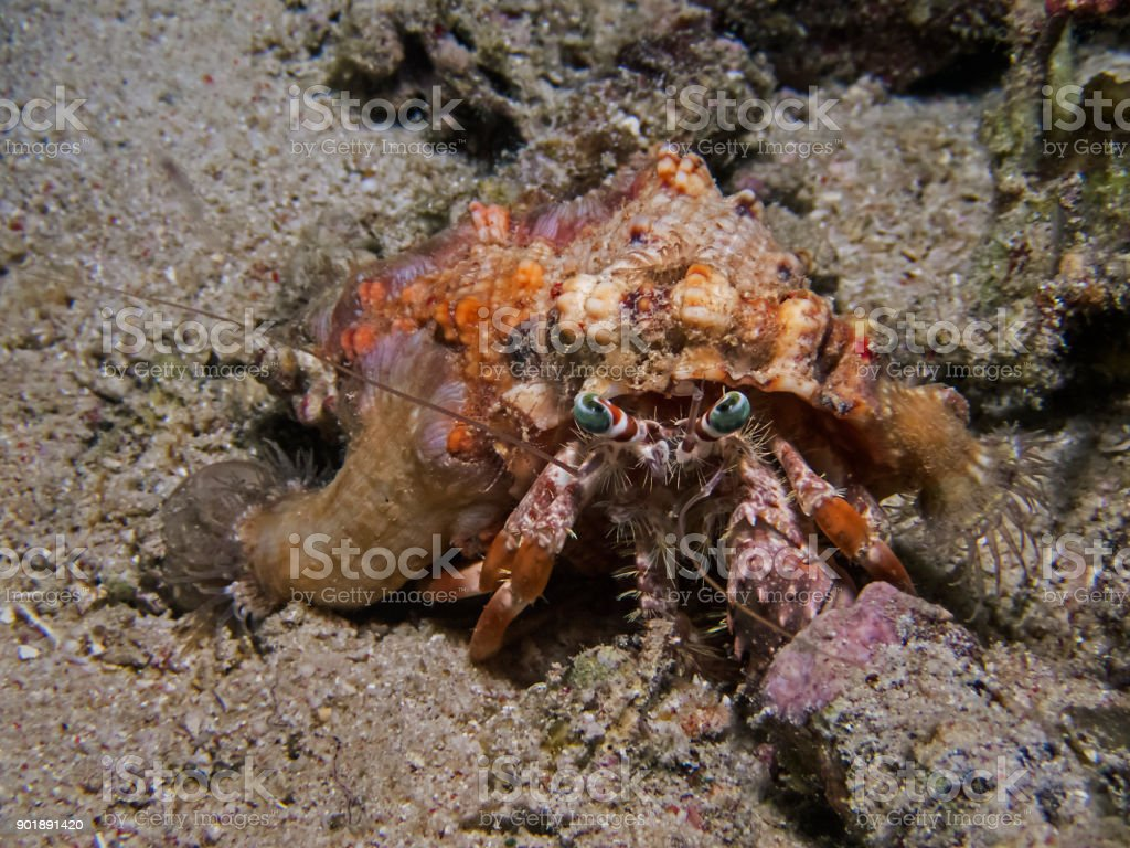 Anemone hermit crab (Dardanus pedunculatus) stock photo