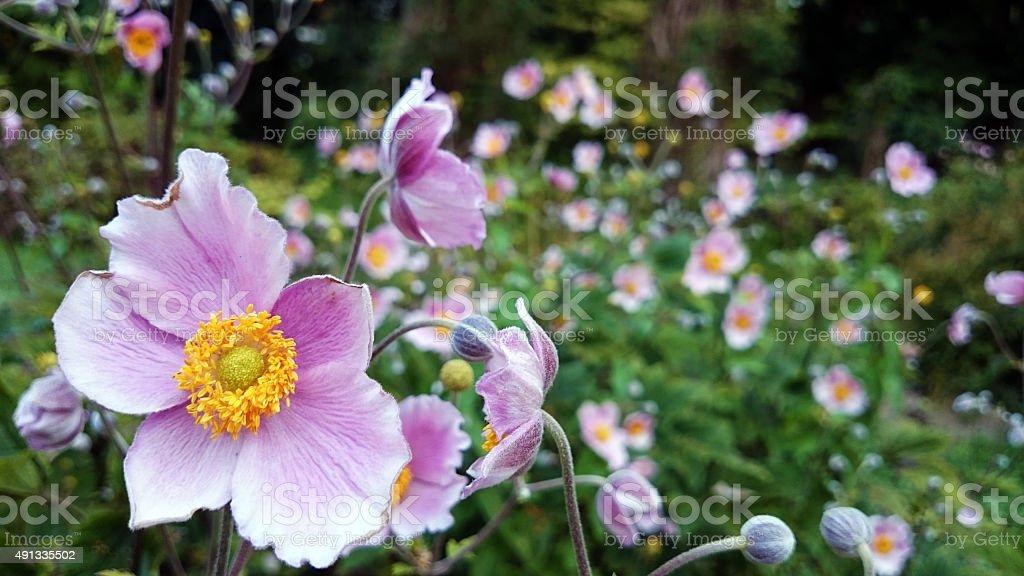 Anemone Hupehensis Herbstanemone Blossom Stock Photo 491335502 Istock