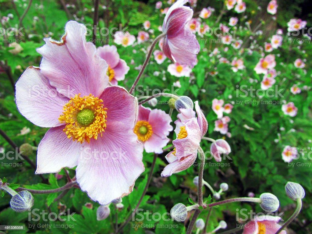 Anemone Hupehensis Herbstanemone Blossom Stock Photo Istock