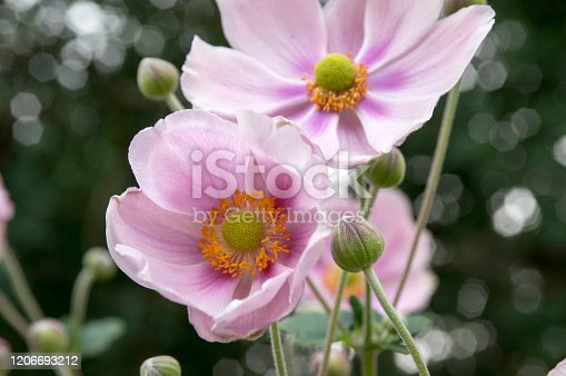 Anemone hupehensis japonica in bloom, beautiful pink flowering park ornamental plant, buds and green leaves