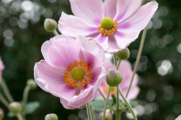 꽃, 아름다운 핑크 꽃 공원 관상용 식물에 아네모 네 우페헨시스 자포니카 - 관상용 식물 뉴스 사진 이미지