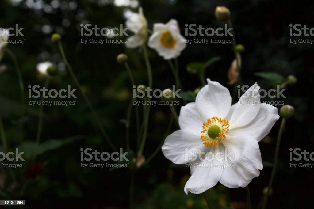 Anemone in Foreground stock photo