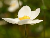 Anemone in garden.\nOLYMPUS DIGITAL CAMERA