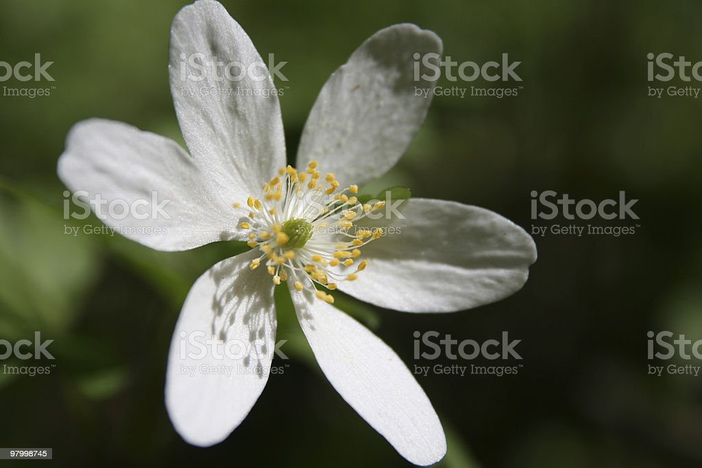 Anemone in sunlight royalty-free stock photo