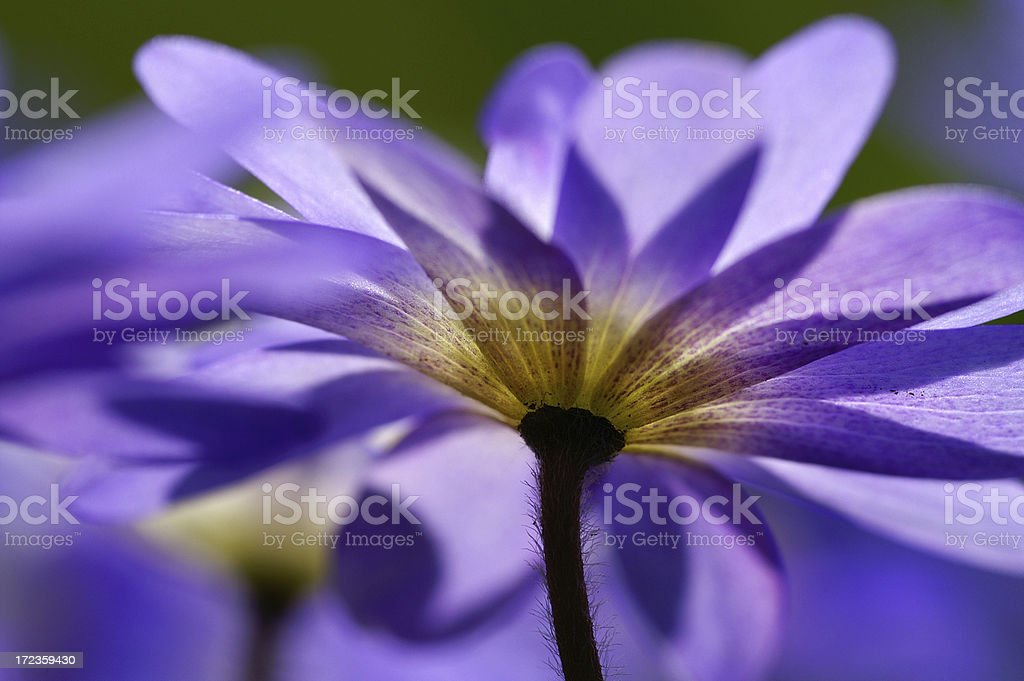 Anemone in the counter-light royalty-free stock photo