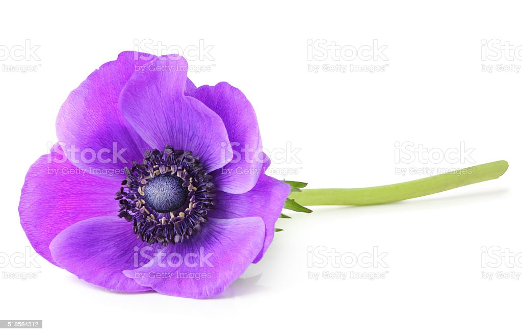 Anemone isolated with clipping path without shade stock photo