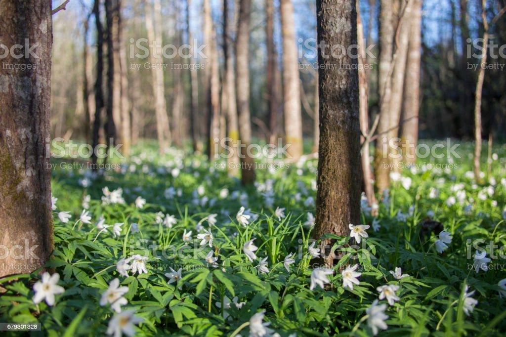 Anemone nemorosa flowers meadow royalty-free stock photo