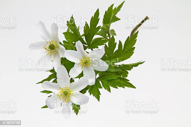 Anemone nemorosa against white background