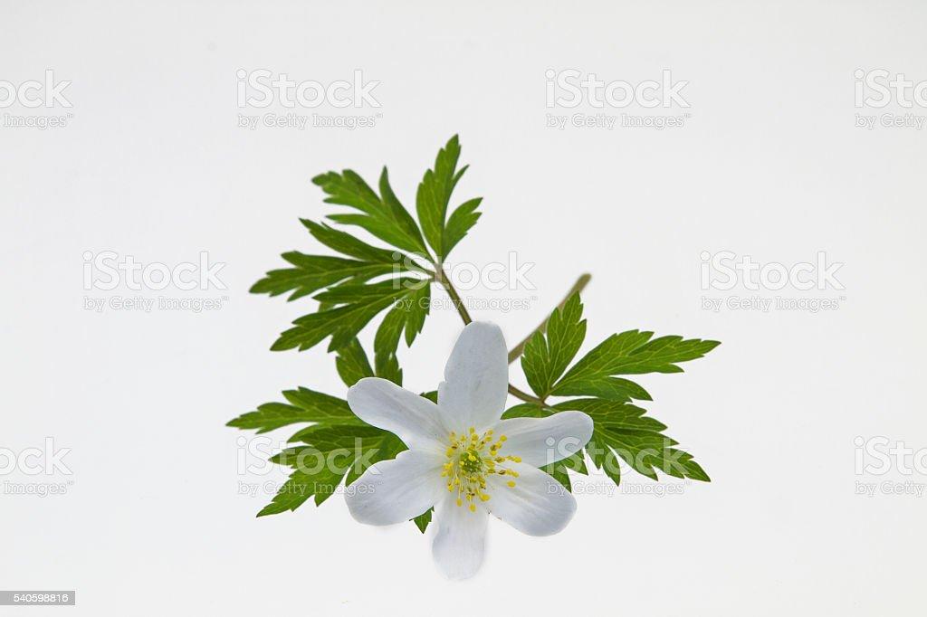 Anemone nemorosa stock photo