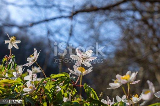 Anemone nemorosa wild flowers on a meadow in spring