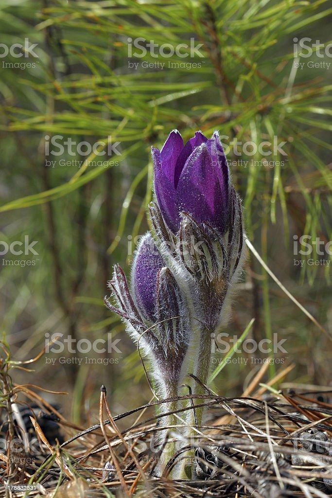 Anemone patens stock photo
