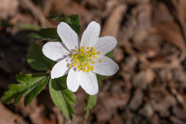 anemone - matthias gaberthüel stock-fotos und bilder