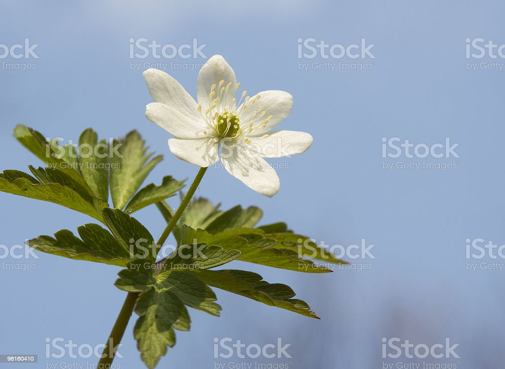 Anemone. royalty-free stock photo