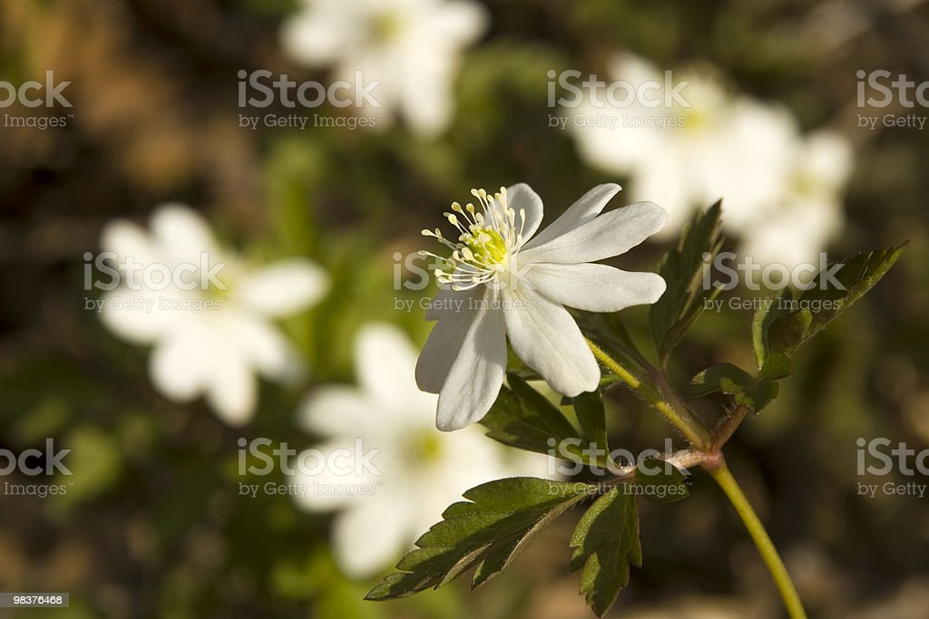Anemone. foto stock royalty-free