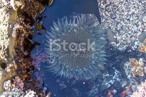 Anthopleura Anemone's in a Tide Pool on California Coast.
