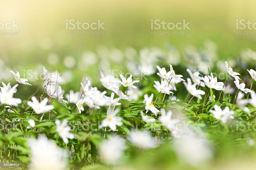 Anemone sylvestris in spring forest stock photo