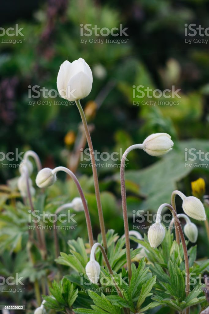 Anemone sylvestris. royalty-free stock photo