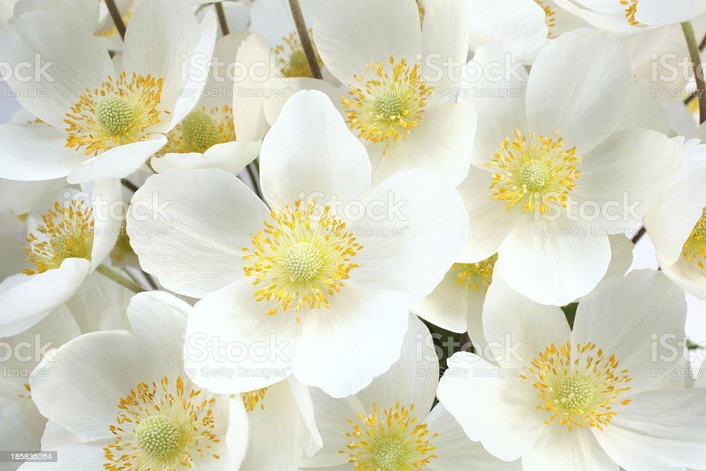 Anemone sylvestris snowdrop stock photo