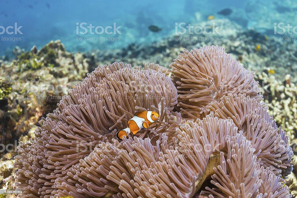 Anemonefish at Similan national park royalty-free stock photo