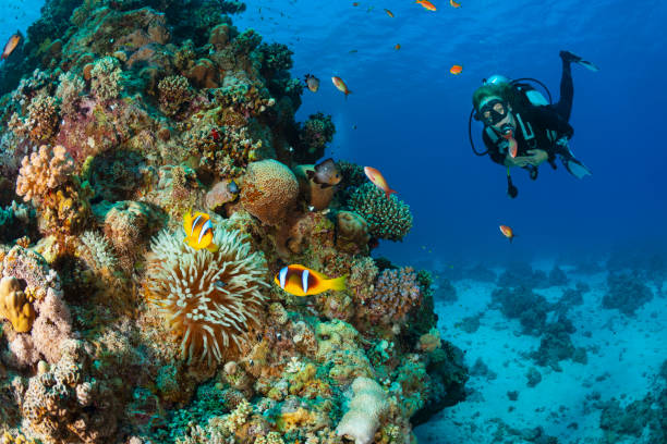 Anemonefish - clownfish Underwater Sea life Coral reef Underwater photo Scuba Diver Point of View. Blonde woman scuba diving in background stock photo
