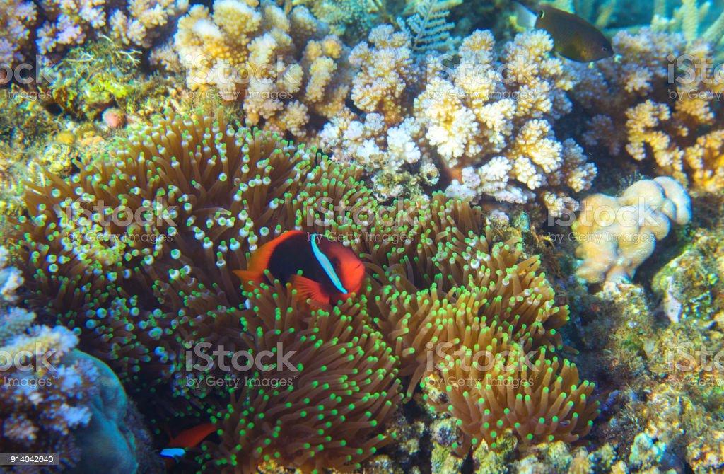 Anemonefish in actinia. Tropical seashore animal underwater photo....