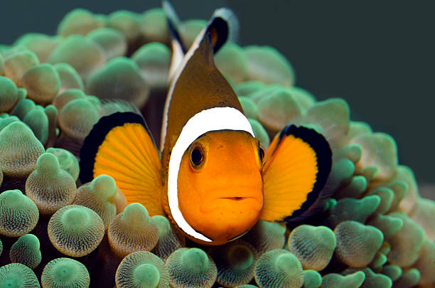 anemonefish clownfish (Amphiprion Ocellaris) false clown fish stock pictures, royalty-free photos & images