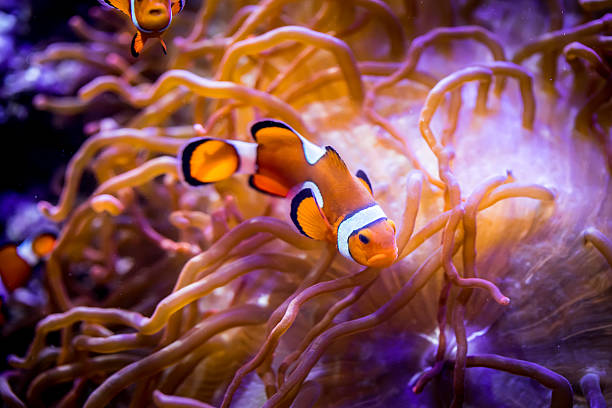Anemonefish Topical saltwater fish ,clownfish Anemonefish nemo museum stock pictures, royalty-free photos & images