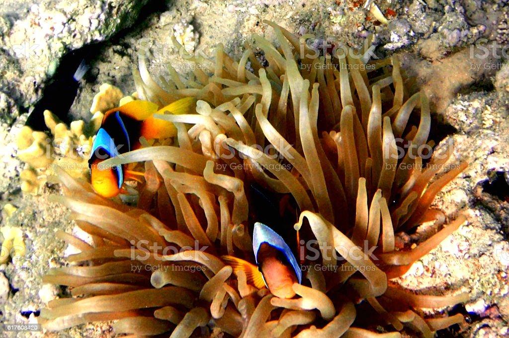 Anemonefish (amphiprion bicinctus) stock photo