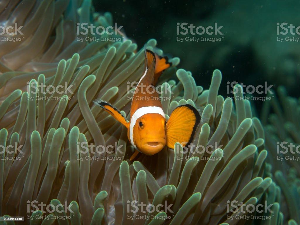 Anemonefish with anemone under water stock photo