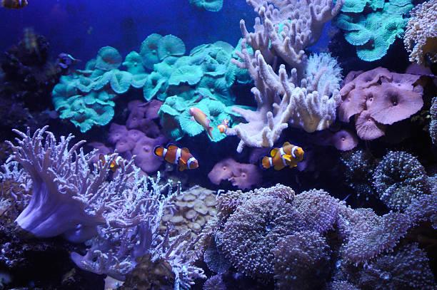 anemonefishes - coral and mauve stock-fotos und bilder