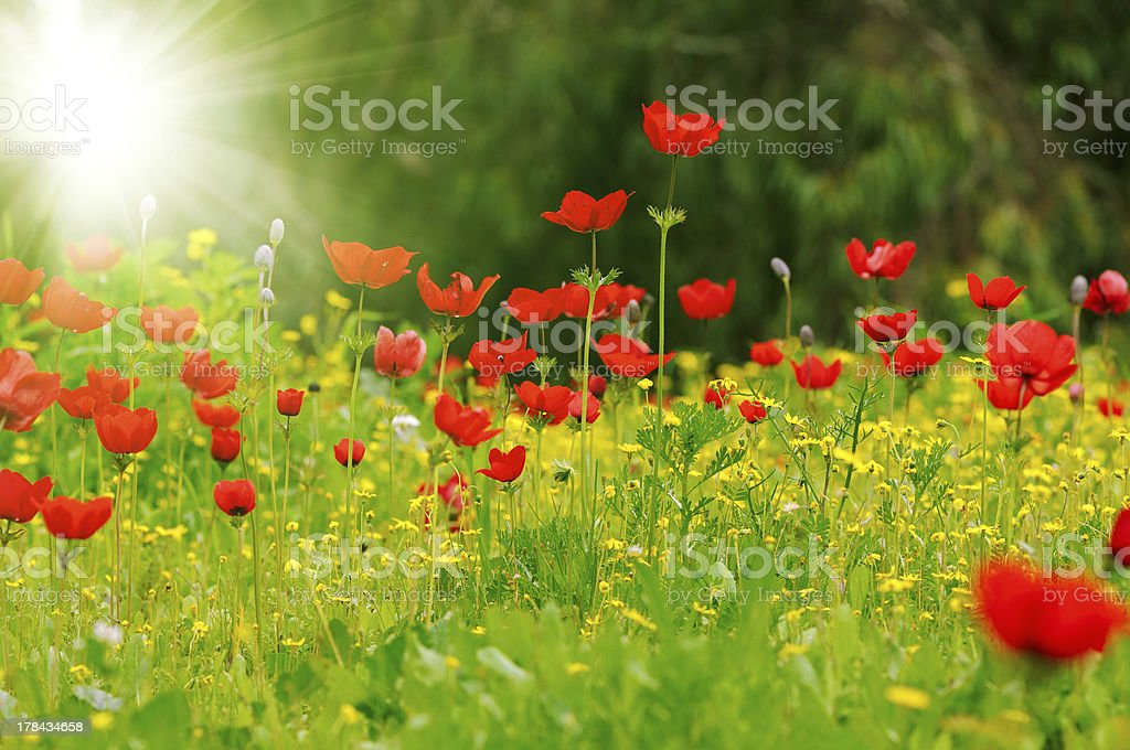 anemones field royalty-free stock photo